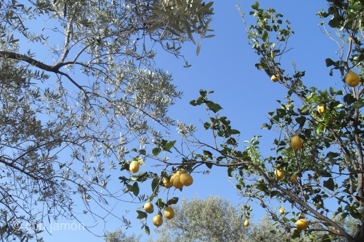 Olive and lemon tree