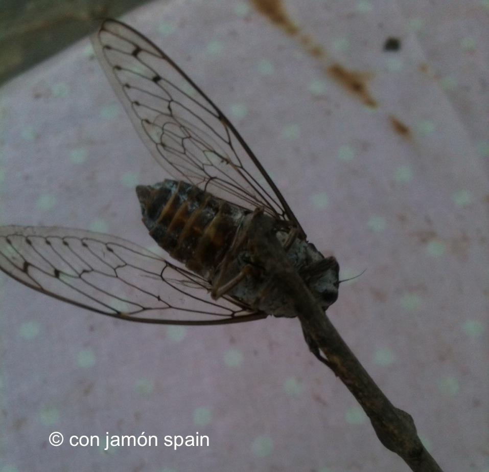 The Cicada | con jamón spain