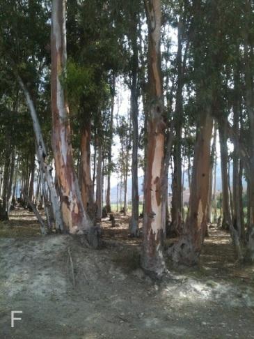 Eucalyptus trees
