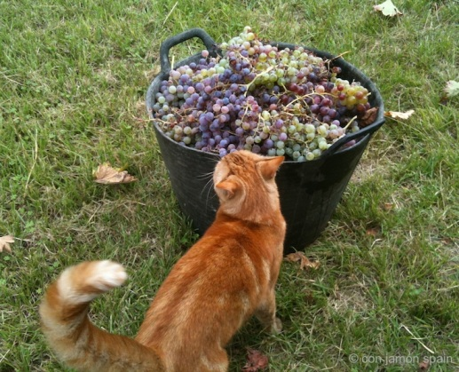 Picked grapes