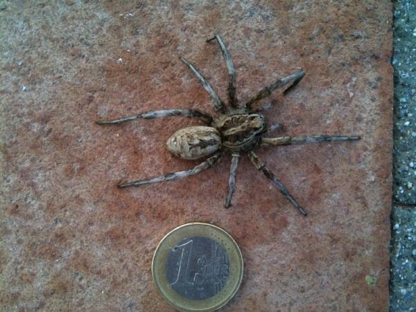 Wold spider