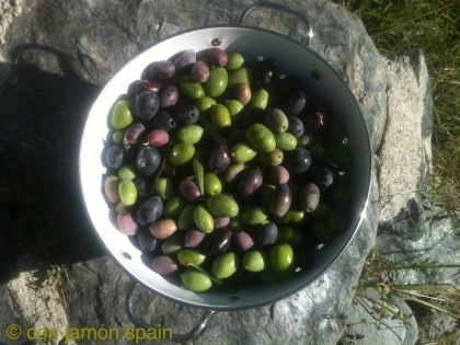 Olives just picked