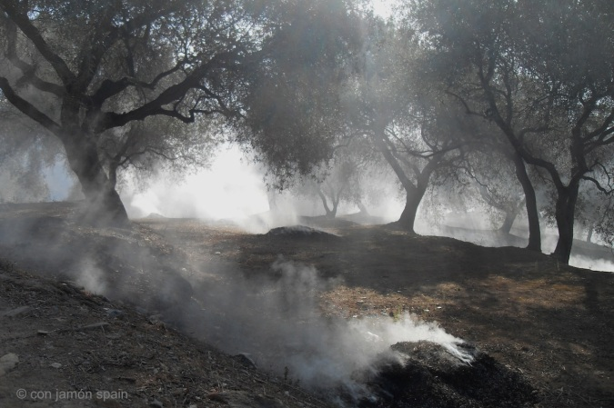 Bonfires in an olive grove