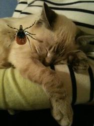 Cat and tick