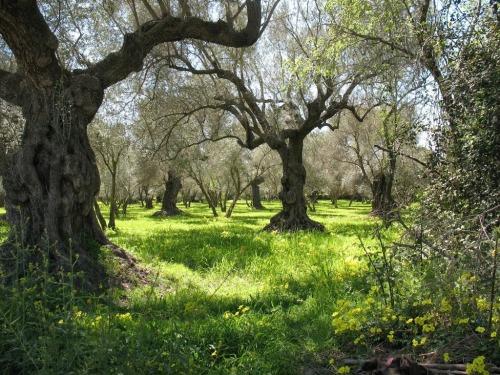 Olive Grove Orgiva