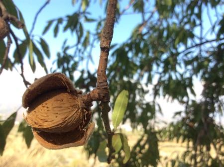 Almond treet husk