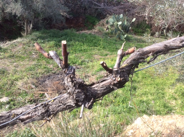 how to cut back grape vines for winter