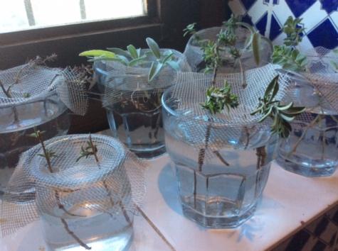 herbs_in_glasses